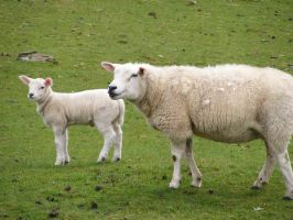 Sheep and Lambs 06 by Axy-stock