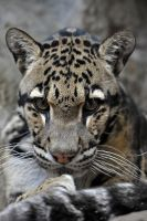 Clouded Leopard 0331 by robbobert