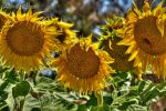 Sunflowers by DanielleMiner