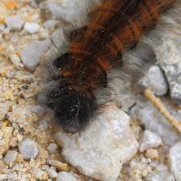 detail of shaggy caterpillar by Jorapache