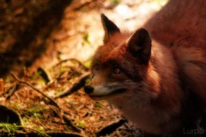 Fox by RobinHedberg