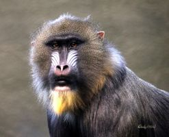 Mandrill by cindy1701d