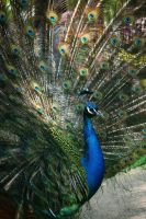 peacock in a zoo by Nexu4