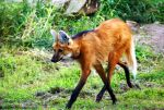 Maned Wolf by Riphath