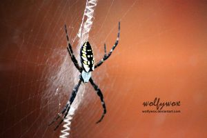 Black and Yellow Garden Spider by wolfywox