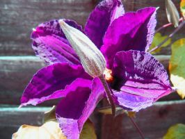Purple Clematis by Jack-In-The-Green