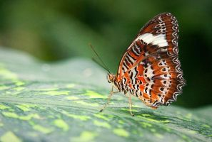Orange Lacewing Butterfly by Lightkast