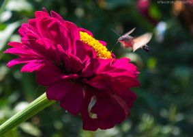 Hummingbird Hawk-moth by AlecsPS