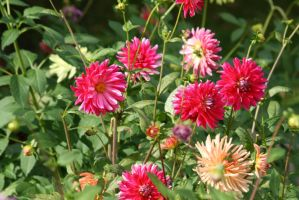 view to dahlias 26 by ingeline-art
