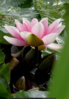stock water lily 2 by elisafox-stock