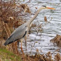 Grey heron by Jorapache
