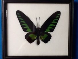 An old framed birdwing butterfly by alucardserasfangirl
