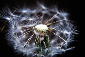 Dandelion 02 by Shae-photography