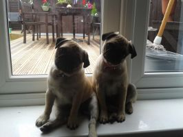 Pug Puppies (I like pugs by the way) by Jamzii95