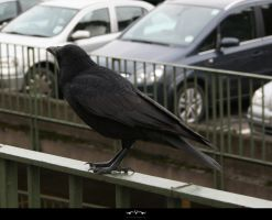 STOCK Crow 3 by violetsteel