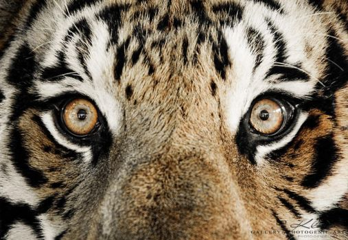 Tiger 3 by photogenic-art