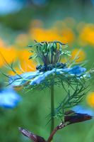 Love in a Mist by KayHulbert