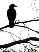 Magpie silhouette by OpalMist