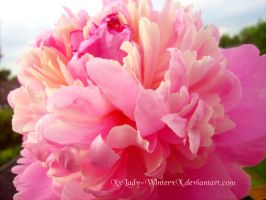 candy Peony -2- by LadyxWinter