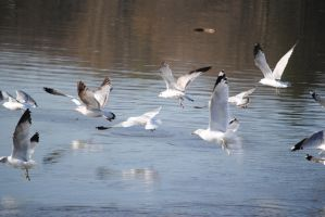 Seagulls in Flight by WhyteMyst