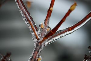 frozen plant by Claus-die-Laus