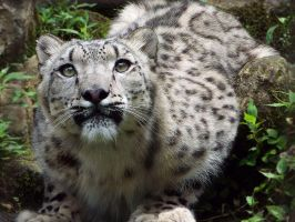 Snow Leopard'6 by SheltieWolf