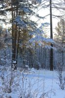 Snow-covered wood, the sun by Hudojnica