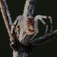 tiny Crab Spider.,. by duggiehoo