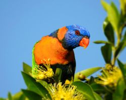 Red-collared lorikeet by Mike-Kossi