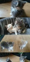 Maine Coon Kittens 6 weeks old by avui