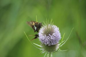 Teasle with little moths by Irie-Stock