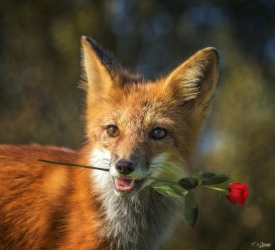 Red Fox with a Red Rose by Nini1965