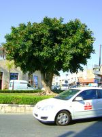 Ficus by Tornquist