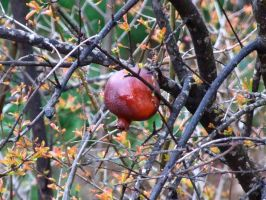 lebanon - red pomegranate by Bizriart
