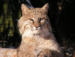 Bobcat by RosiePosieRed