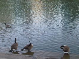 Geese Chillin by migz7