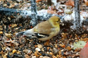 Goldfinch in winter by MagicCometART