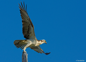 Osprey Launch by TerribleTer