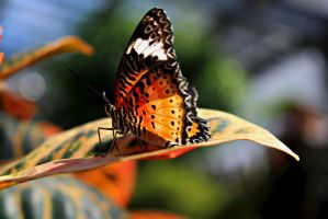 Leopard Lacewing Butterfly by ParadoxGirl411