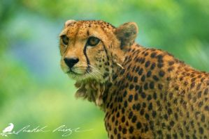 Cheetah (Acinonyx jubatus) by PhotoDragonBird