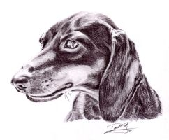 Dachshund by superchickenn123