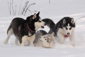 Snow Games of a Snow Dogs by DeingeL-Dog-Stock