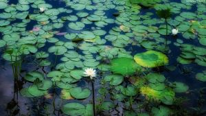 WaterLily Pond by StarwaltDesign