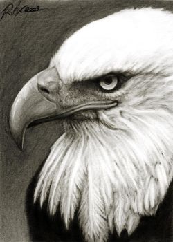 Bald Eagle by Laagernaught