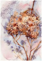 Dried Hydrangea by PellucidMind