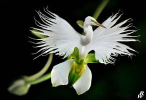 White egret orchid by Dwarf4r