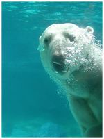 Polar Bear by eosthilas