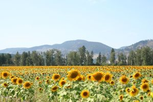 Sunflower Field Stock 6 by SimplyBackgrounds