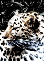 Amur Leopard by Ionday