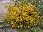 Gorse Weed by F16CrewChief